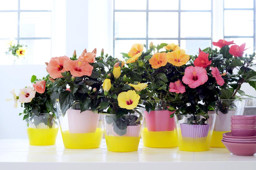 mei 2015 chinese roos is woonplant van de maand bloemenbureau. Black Bedroom Furniture Sets. Home Design Ideas