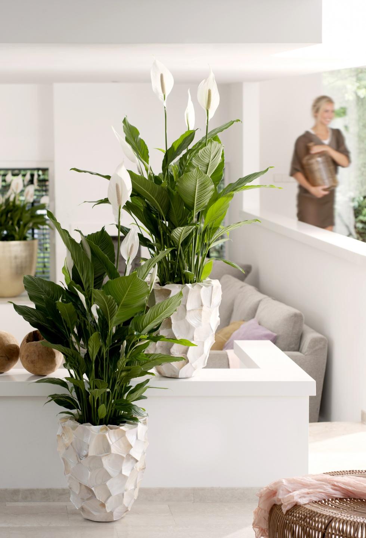 juni 2015 lepelplant is woonplant van de maand bloemenbureau. Black Bedroom Furniture Sets. Home Design Ideas