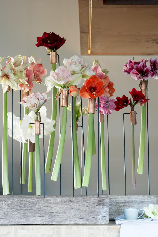 De amaryllis staat van week 48 t m 52 op de bloemenagenda for Amaryllis fleurs