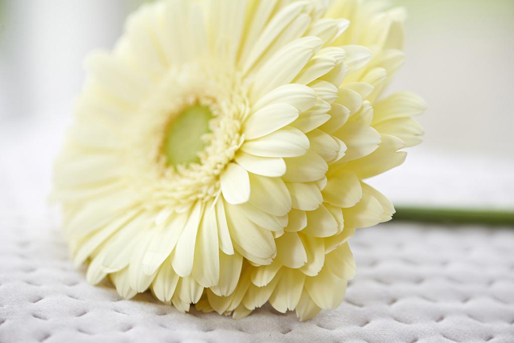 L'Agenda des Fleurs, avril - le Gerbera
