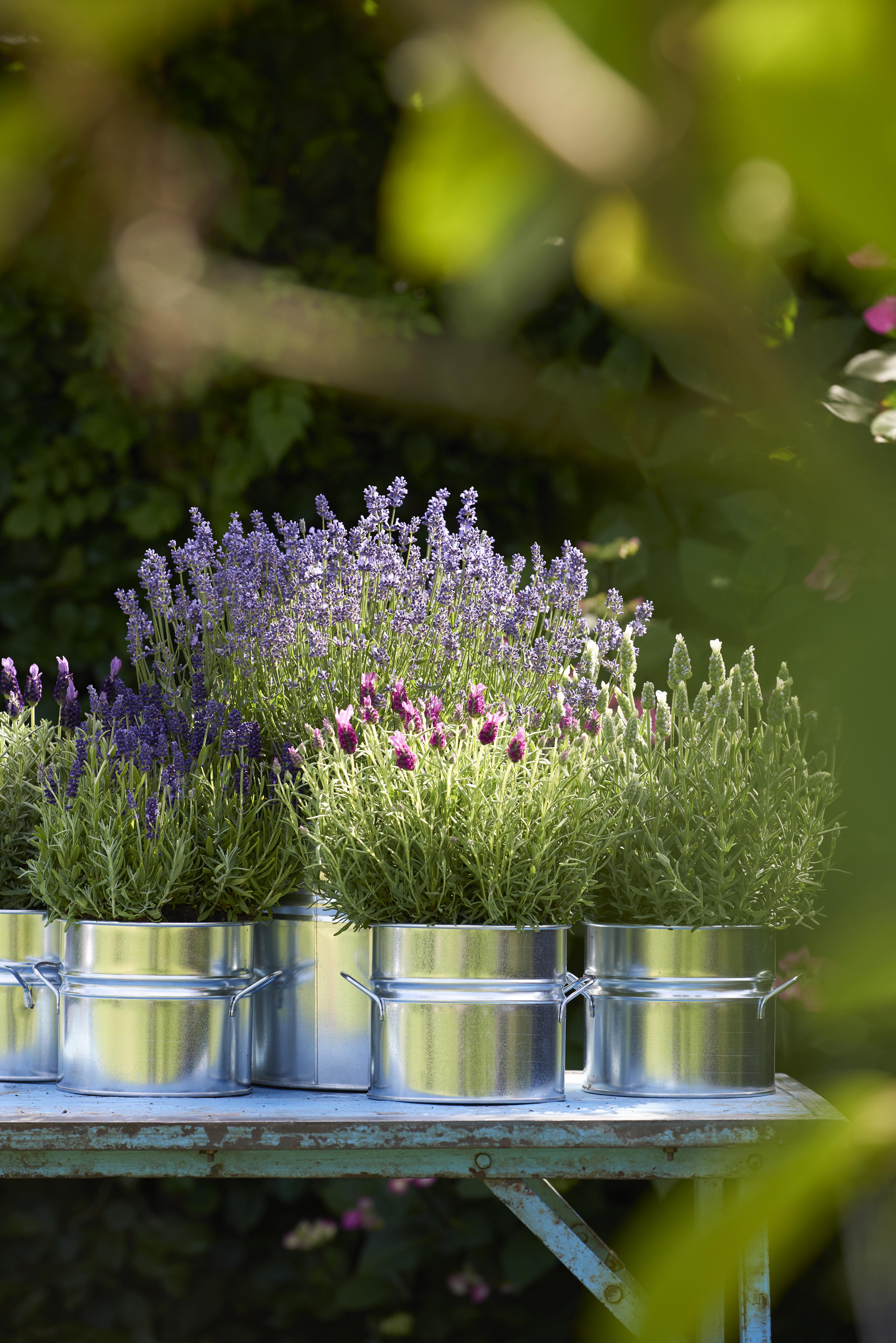 Lavendel In Grote Pot.Balkonplant Van Het Jaar 2018 Lavendel Bloemenbureau