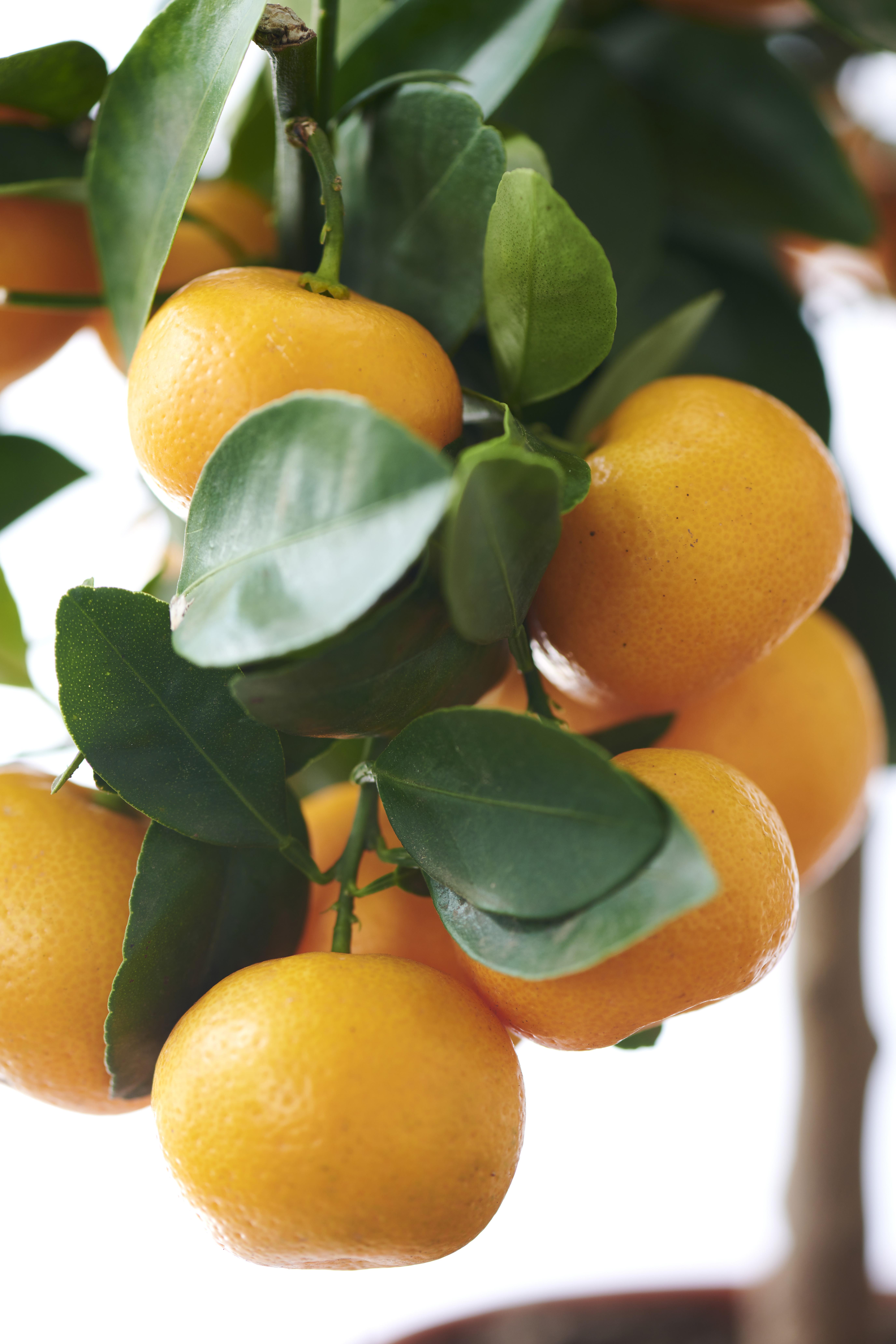 De buitenplanten uit De Trend Collectie lente/zomer 2021 Citrus