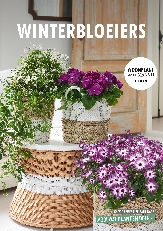 Winterbloeiers, Woonplanten van de maand februari 2018