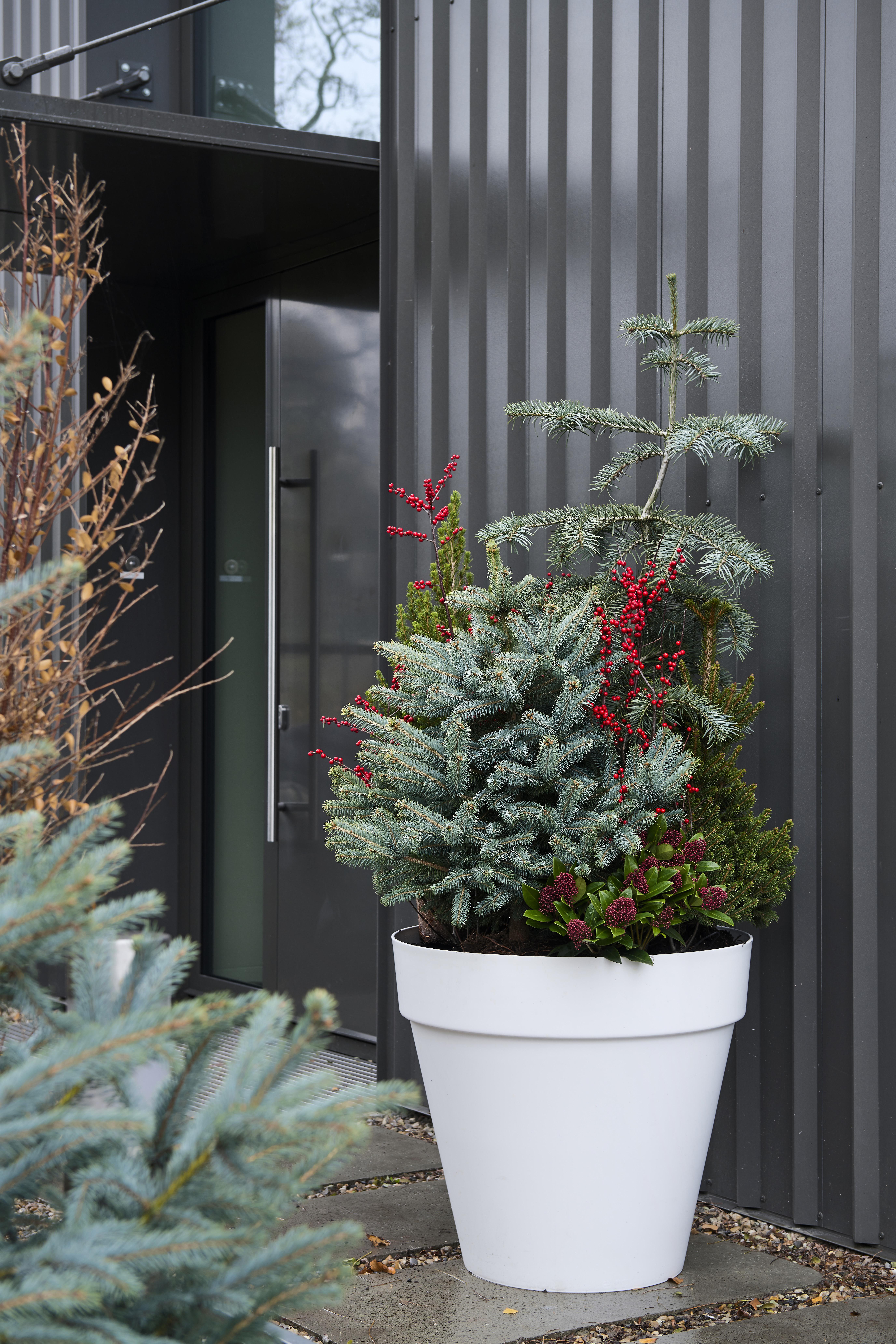 Kerstsparren: Tuinplanten van de maand december 2019