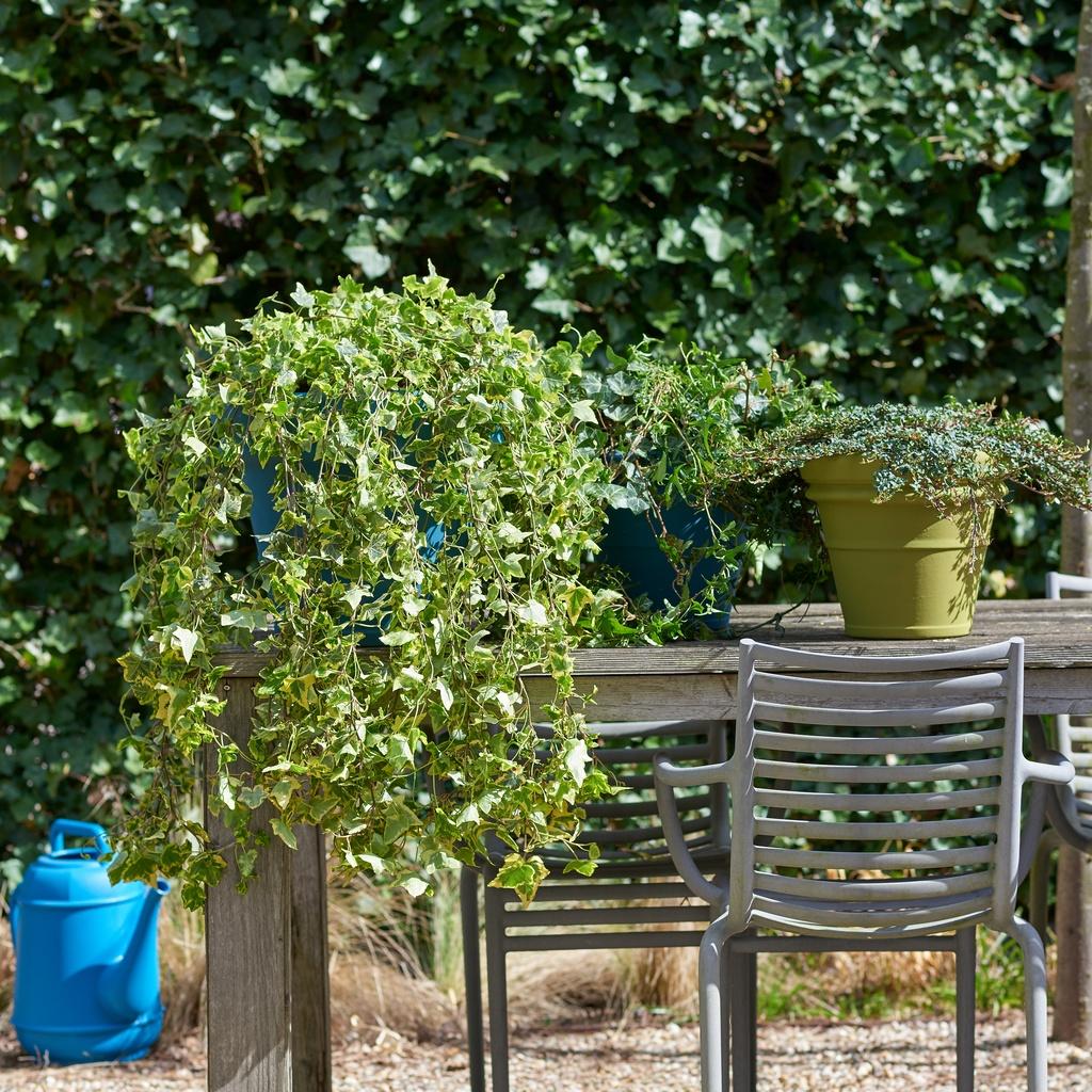 Hangplanten Buiten Winterhard.Tuinplant Van De Maand Maart Hedera Bloemenbureau